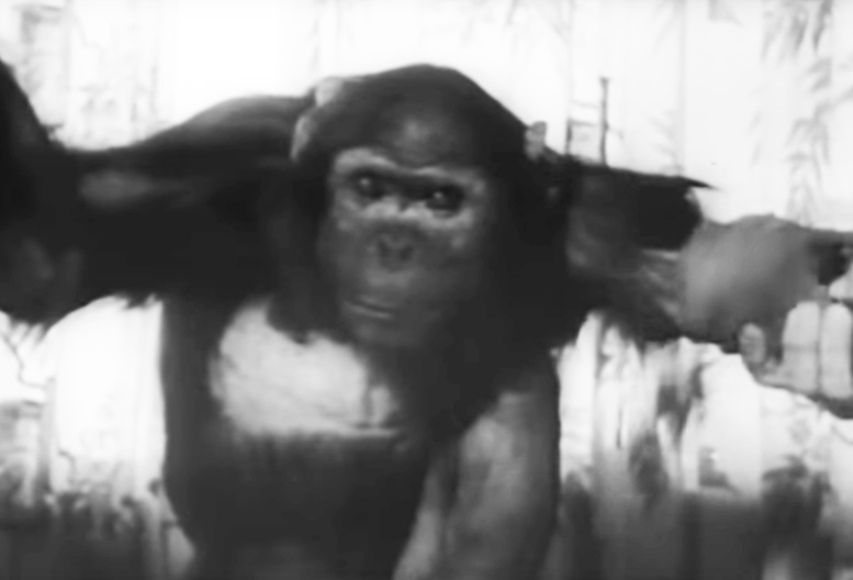 Enos, a five year old chimp after his space flight of two orbits around earth