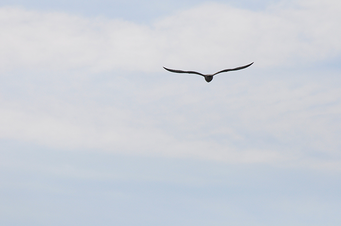 Gull over New York Harbor  _  Simko/Broadsheet